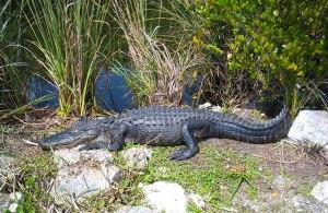 American_Alligator_Everglades_National_Park