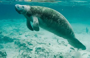 Underwater_photography_on_endangered_mammal_manatee